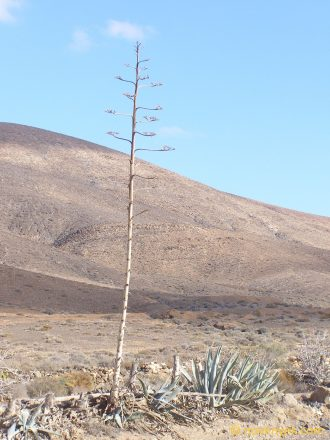 Image of plant Agave americana