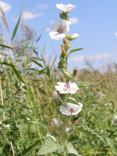 Image of plant Althaea officinalis