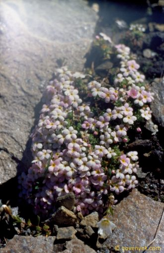 Image of plant Androsace alpina