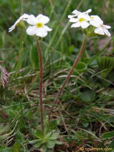 Image of plant Androsace lactea