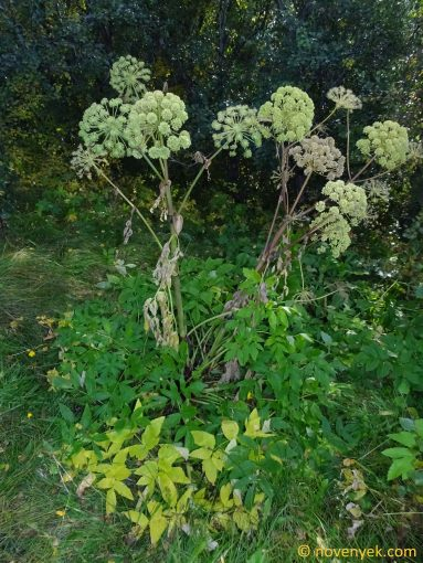 Image of plant Angelica archangelica