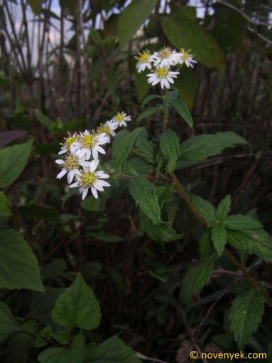 Image of plant Aster ageratoides