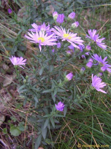 Image of plant Aster laevis