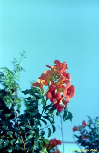 Image of plant Campsis radicans