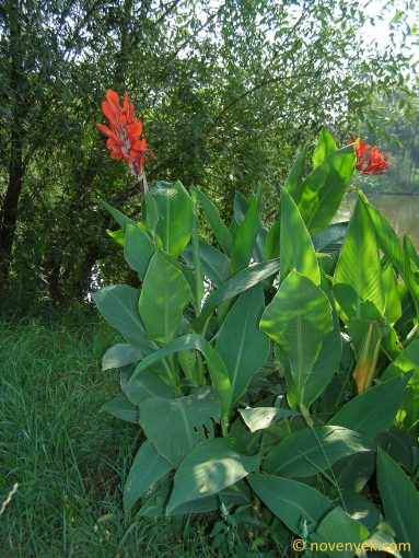 Image of plant Canna indica