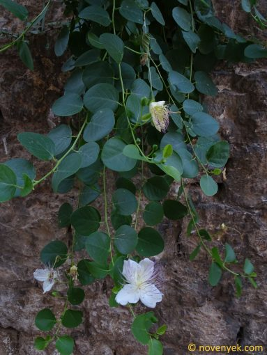 Image of plant Capparis spinosa