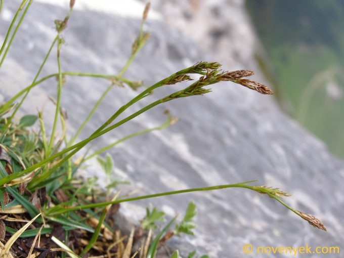 Image of plant Carex firma