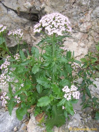 Image of plant Centranthus calcitrapa