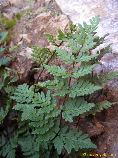Image of plant Cheilanthes guanchica