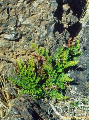 Image of plant Cheilanthes hispanica