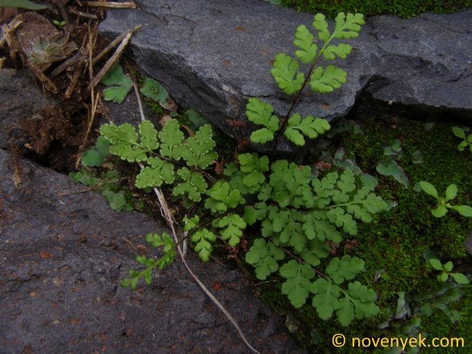 Image of plant Cheilanthes tinaei