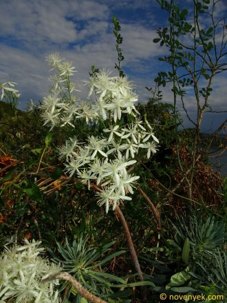 Image of plant Clematis flammula