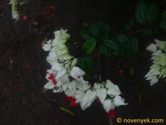 Image of plant Clerodendrum thomsoniae