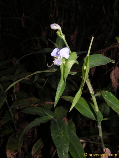 Image of plant Commelina benghalensis