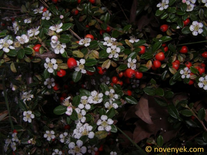 Image of plant Cotoneaster dammeri