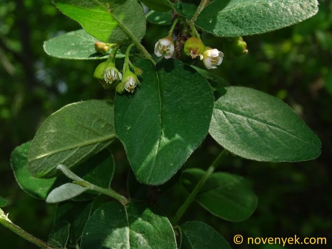Image of plant Cotoneaster niger