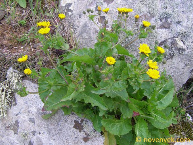 Image of plant Crepis canariensis