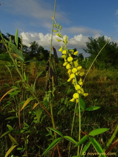 Image of plant Crotalaria micans