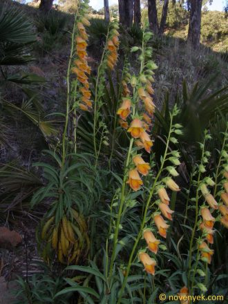 Image of plant Digitalis obscura