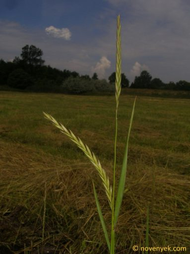 Image of plant Elymus repens