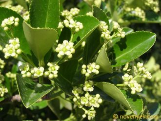 Image of plant Euonymus fortunei