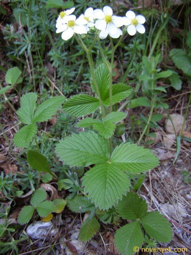 Image of plant Fragaria moschata