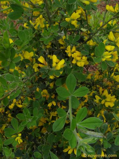 Image of plant Genista maderensis