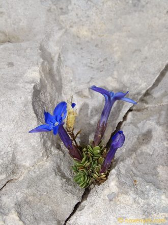 Image of plant Gentiana terglouensis