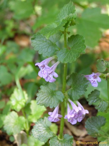 Image of plant Glechoma hederacea