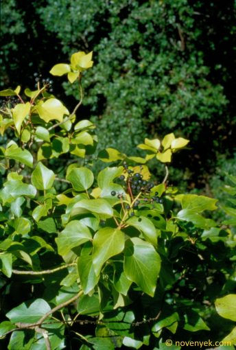 Image of plant Hedera canariensis