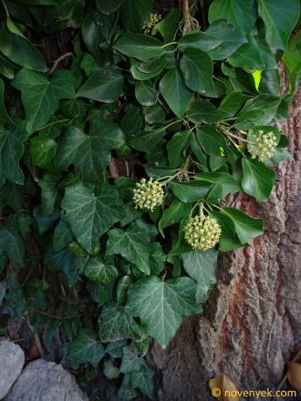 Image of plant Hedera helix