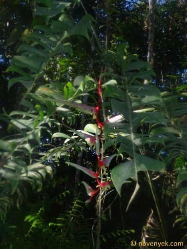 Image of plant Heliconia chartacea