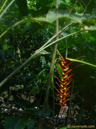 Image of plant Heliconia dielsiana