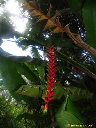 Image of plant Heliconia rostrata