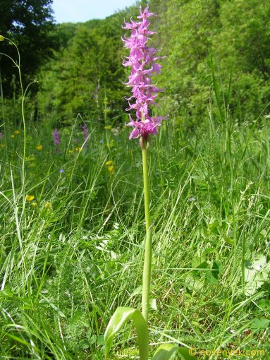 Image of plant Orchis mascula