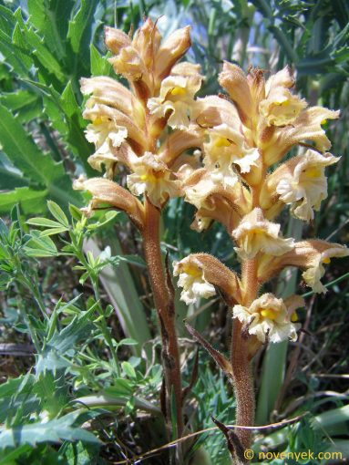 Image of plant Orobanche lutea
