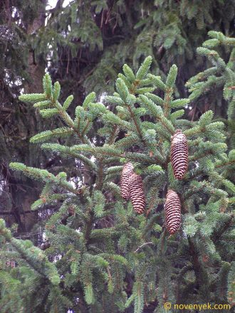 Image of plant Picea abies