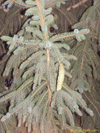 Image of plant Picea pungens
