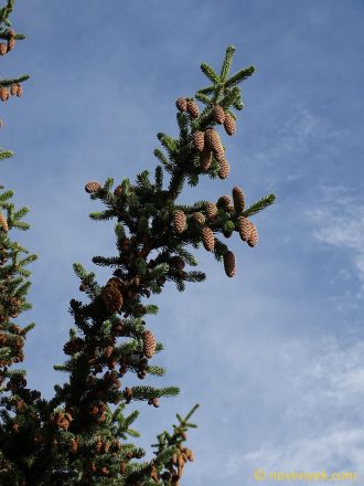 Image of plant Picea sitchensis