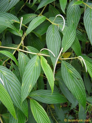 Image of plant Piper friedrichsthalii