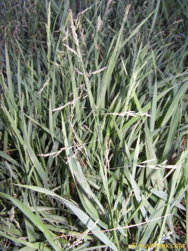 Image of plant Puccinellia distans
