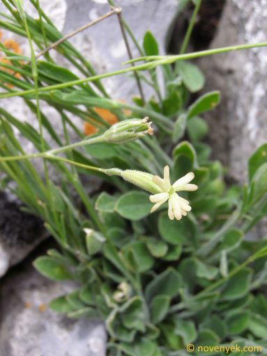 Image of plant Silene flavescens