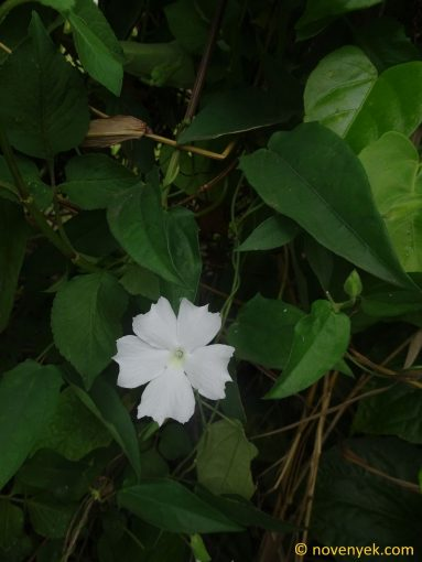 Image of plant Thunbergia fragrans