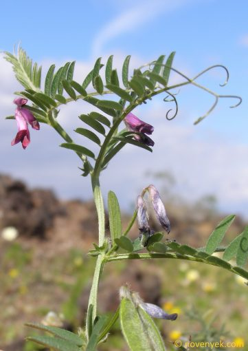 Image of plant Vicia benghalensis