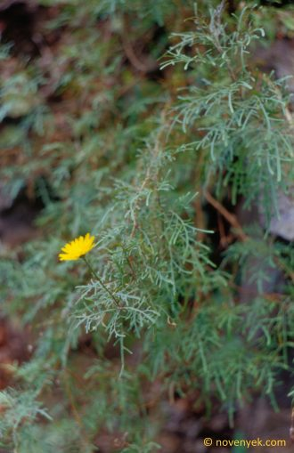 Image of undetermined plant Canary Islands Asteraceae