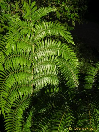 Image of undetermined plant Costa Rica Pteridophyta (10)