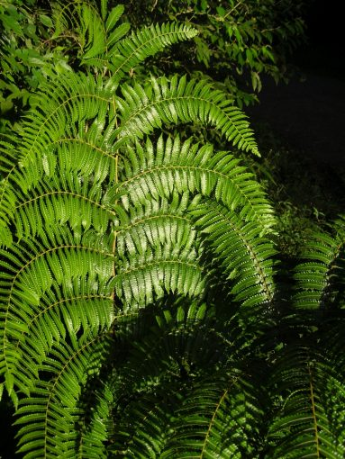 Image of undetermined plant Costa Rica Pteridophyta 10