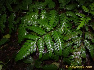 Image of undetermined plant Costa Rica  Pteridophyta (8)