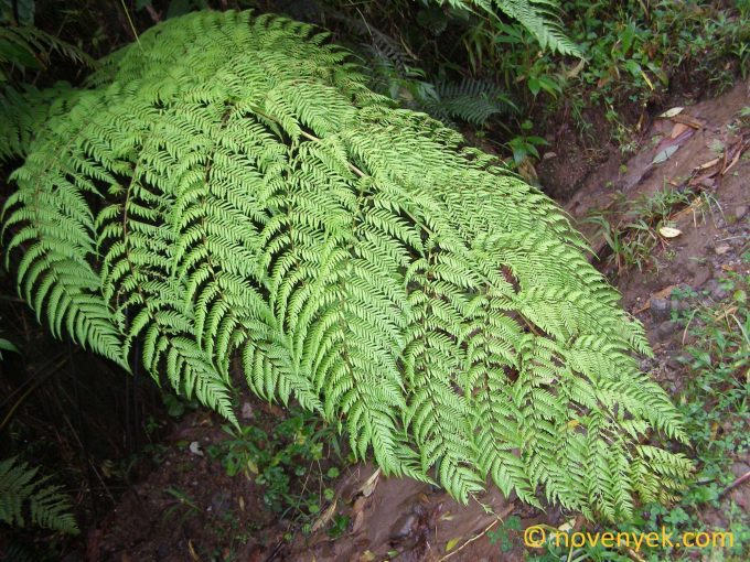 Image of undetermined plant Costa Rica cf cyathea