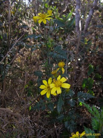 Image of undetermined plant Cuba Asteraceae (3)